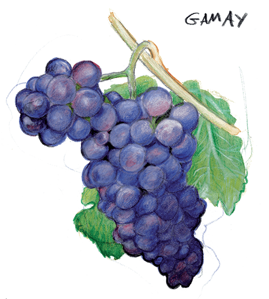 Le Gamay