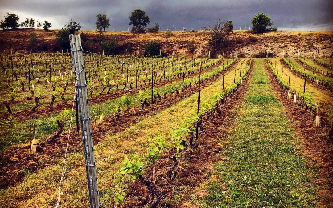 Légende : Vignoble à Chateaugay sur sol présentant des pépérites © Photo : Étienne Rachez